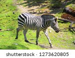 a zebra st the zoo   Shutterstock . vector #1273620805