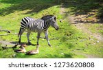 a zebra st the zoo   Shutterstock . vector #1273620808