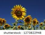 Sunflower Yellow Sky - Fine Art prints