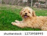 Mini Goldendoodle Puppy Dog  ...