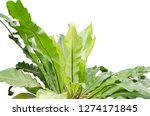big bird's nest fern on white... | Shutterstock . vector #1274171845