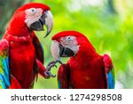 Pair Of Colorful Macaws Parrot...