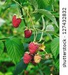 Big Red Raspberries On A Cane