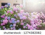 hydrangea garden by house at... | Shutterstock . vector #1274382082