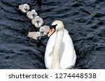 Mother Swan And Cygnets  Mothe...