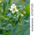 Potato Flower On Green Bush