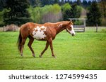 overo patterned horse walking...   Shutterstock . vector #1274599435