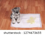 Stock photo schnauzer puppy and urine puddle in dog diaper concept home training dogs 1274673655