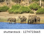 herd of elephants crossing the...   Shutterstock . vector #1274723665