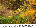 late fall blooming witch hazel...   Shutterstock . vector #1274755168