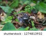 the common chaffinch  fringilla ...   Shutterstock . vector #1274813932