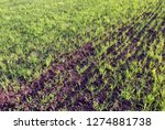 field of winter wheat in spring ... | Shutterstock . vector #1274881738