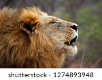 male lion calling for his pride ... | Shutterstock . vector #1274893948
