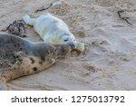 a newly born grey seal pup ... | Shutterstock . vector #1275013792