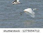 white heron taking off on the...   Shutterstock . vector #1275054712