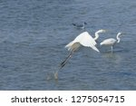 white heron taking off on the...   Shutterstock . vector #1275054715