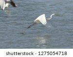 white heron taking off on the...   Shutterstock . vector #1275054718