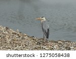 gray heron reflected on the...   Shutterstock . vector #1275058438
