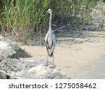 gray heron reflected on the...   Shutterstock . vector #1275058462