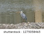 gray heron reflected on the...   Shutterstock . vector #1275058465
