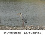 gray heron reflected on the...   Shutterstock . vector #1275058468
