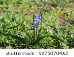 view on hyacinthus orientalis ...   Shutterstock . vector #1275070462