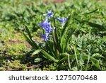 view on hyacinthus orientalis ...   Shutterstock . vector #1275070468