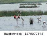 pink flamingos fighting in the...   Shutterstock . vector #1275077548