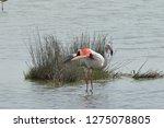 pink flamingo hunting for food...   Shutterstock . vector #1275078805