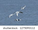 flock of seagulls following a... | Shutterstock . vector #1275093112