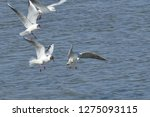 flock of seagulls following a... | Shutterstock . vector #1275093115
