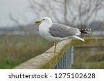 real seagull leaning on a...   Shutterstock . vector #1275102628