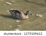 mallard swimming in the water   ...   Shutterstock . vector #1275109612