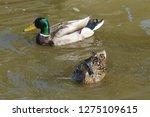 mallard swimming in the water   ...   Shutterstock . vector #1275109615