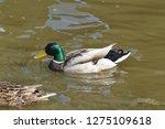 mallard swimming in the water   ...   Shutterstock . vector #1275109618