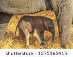 elefant calf protected by mum.... | Shutterstock . vector #1275165415