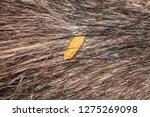 Dipylidium Caninum Dried Gravid ...