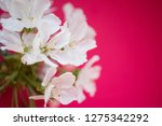 cherry blossoms on pink paper... | Shutterstock . vector #1275342292
