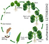 life cycle of a monstera or... | Shutterstock .eps vector #1275382042