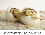 Stock photo close up baby tortoise hatching african spurred tortoise birth of new life cute baby animal 1275462115
