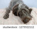 shaggy  dog on a pink poof. the ... | Shutterstock . vector #1275522112