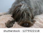 shaggy  dog on a pink poof. the ... | Shutterstock . vector #1275522118