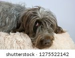 shaggy  dog on a pink poof. the ... | Shutterstock . vector #1275522142