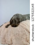 shaggy  dog on a pink poof. the ... | Shutterstock . vector #1275522145