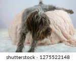 shaggy  dog on a pink poof. the ... | Shutterstock . vector #1275522148