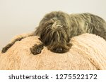 shaggy  dog on a pink poof. the ... | Shutterstock . vector #1275522172