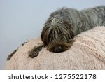 shaggy  dog on a pink poof. the ... | Shutterstock . vector #1275522178