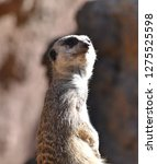 meerkat  suricata suricatta    Shutterstock . vector #1275525598