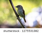 a picture of a shrike a small...   Shutterstock . vector #1275531382