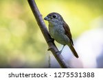 a picture of a shrike a small...   Shutterstock . vector #1275531388